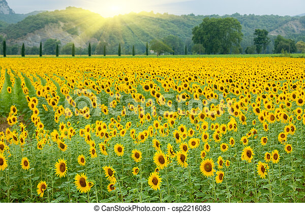 agricoltura, girasole - csp2216083