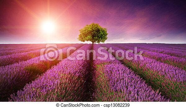 bello, estate, immagine, albero, giacimento lavanda, singolo, tramonto, orizzonte, sunburst, paesaggio - csp13082239