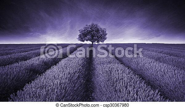 bello, toned, malva, immagine, albero, giacimento lavanda, singolo, paesaggio - csp30367980