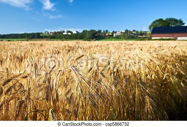 blu, estate, frumento, maturo, segale, cielo, agricoltura - csp5866732