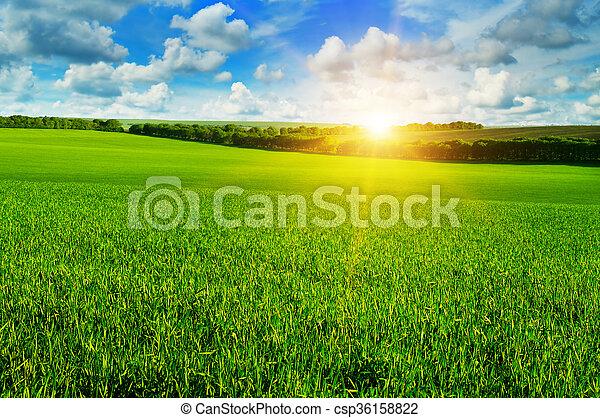 cielo blu, frumento, alba, campo - csp36158822