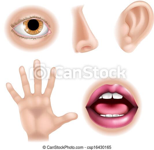 corpo, sensi, cinque, parti - csp16430165