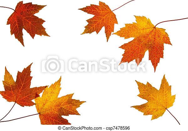 foglie, sparso, fondo, cadere, bianco, acero - csp7478596