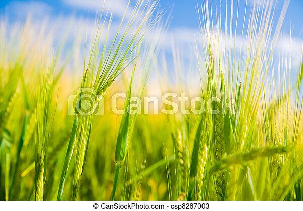 frumento, agricoltura, field. - csp8287003