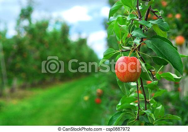 frutteto mela - csp0887972