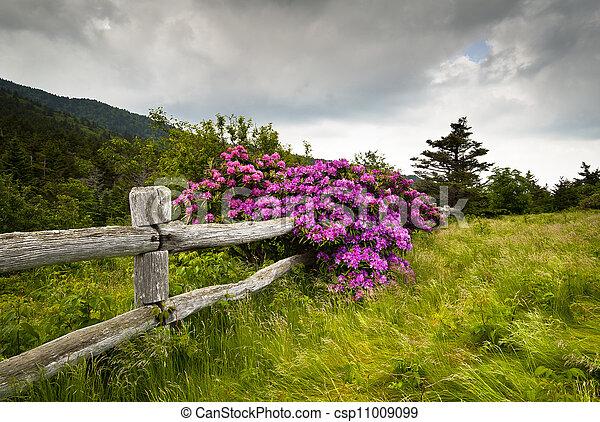 montagna, rododendro, fiore, recinto, natura, legno, parco, divario, stato, roan, fuori, carvers, fiori - csp11009099