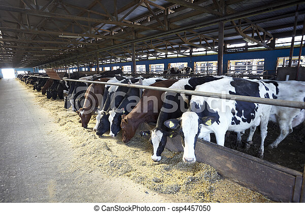 mucca latte, fattoria, bovino, agricoltura - csp4457050