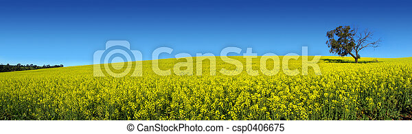 panoramico, canola - csp0406675