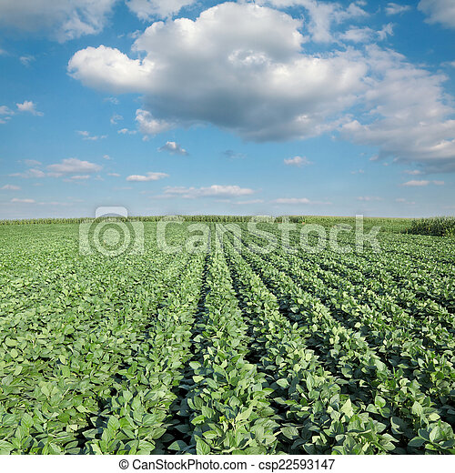 pianta, agricoltura, soia, campo - csp22593147