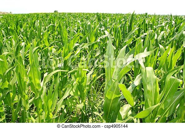 piante, granaglie, piantagione, campo, verde, agricoltura - csp4905144