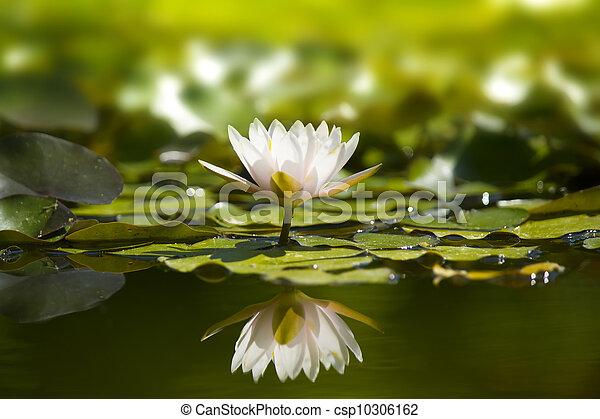 pond., waterlily, natura, bianco - csp10306162