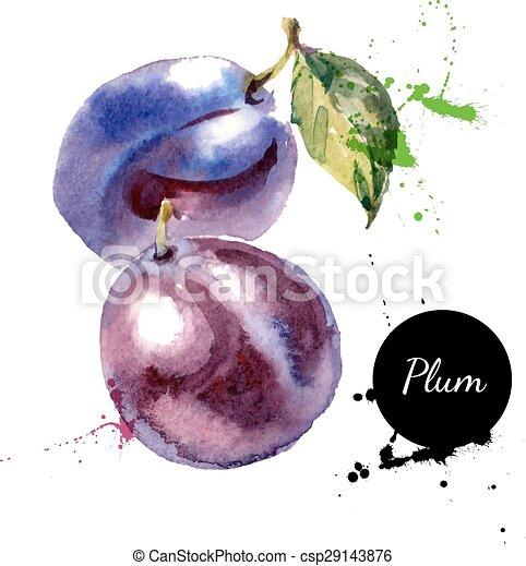 prugna, mano, acquarello, frutta, fondo, disegnato, bianco, pittura - csp29143876