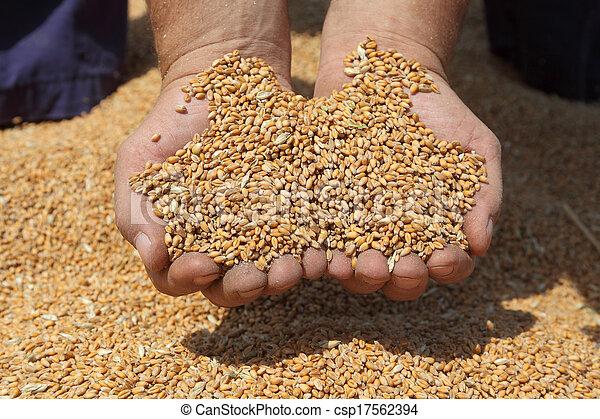 raccolta frumento, agricoltura - csp17562394