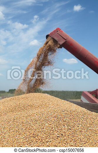 raccolta frumento, agricoltura - csp15007656