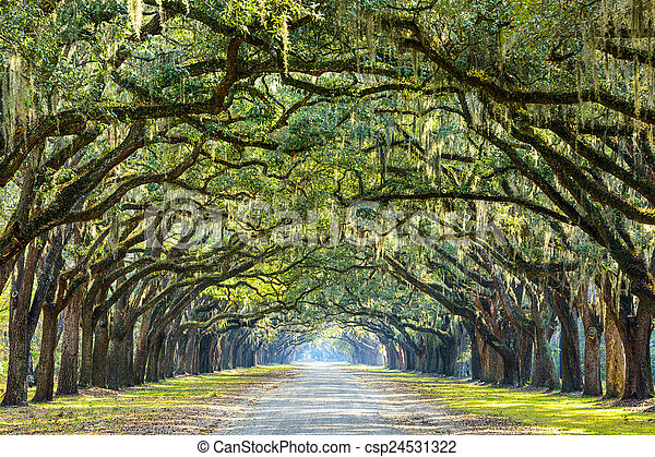 savana, stati uniti, georgia, quercia, plantation., albero, storico, wormsloe, foderare, strada - csp24531322