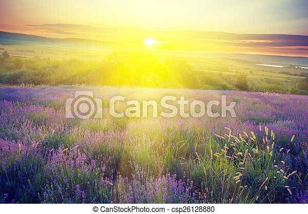 sole, lavanda, mattina, presto, campo, fondo, raggio - csp26128880