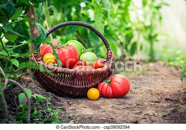 suolo, pomodori, succoso - csp39092394