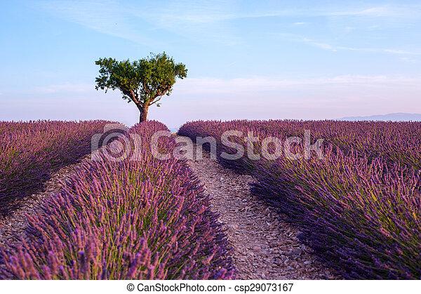 tramonto, albero, lavanda, valensole, estate, paesaggio, campo, singolo - csp29073167